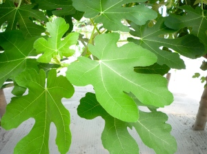 fig-leaves